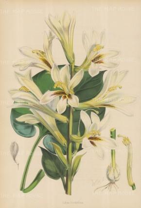 "Fitch: Heart leaved Lily. c1880. An original hand coloured antique lithograph. 14"" x 21"". [FLORAp2737]"
