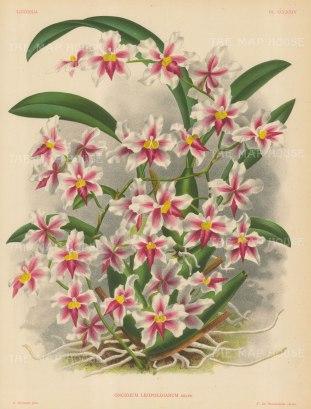 Orchid: Oncidium Leopoldanium.
