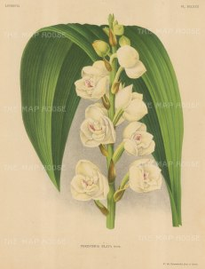 Orchid: Peristeria Elata.