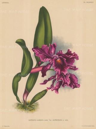 Orchid: Cattleya Labiata.