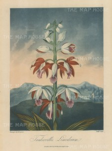 Orchid: Tankerville's or China Limodorum set in a romanticised English landscape alluding to Lady Tankerville, a well known collector of exotic plants,