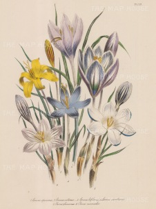 """Loudon: Crocus. c1845. An original colour antique lithograph. 7"""" x 10"""". [FLORAp3032]"""