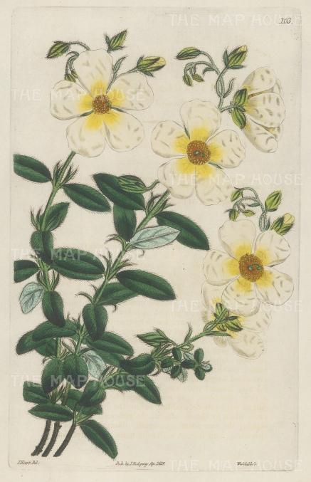 Rock Rose: Helianthemum macranthon, Great-flowered Sun-Rose.