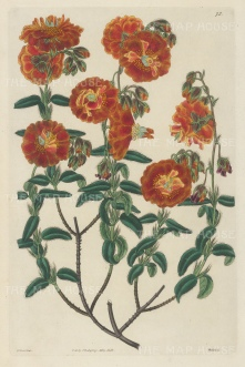 Rock Rose: Helianthemum hyssopifolium -multiplex., Double-flowered Hyssop-leaved Sun-Rose.