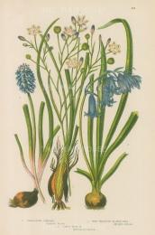 Varieties: Variegated Simethus, Bluebells and Starch Grape.