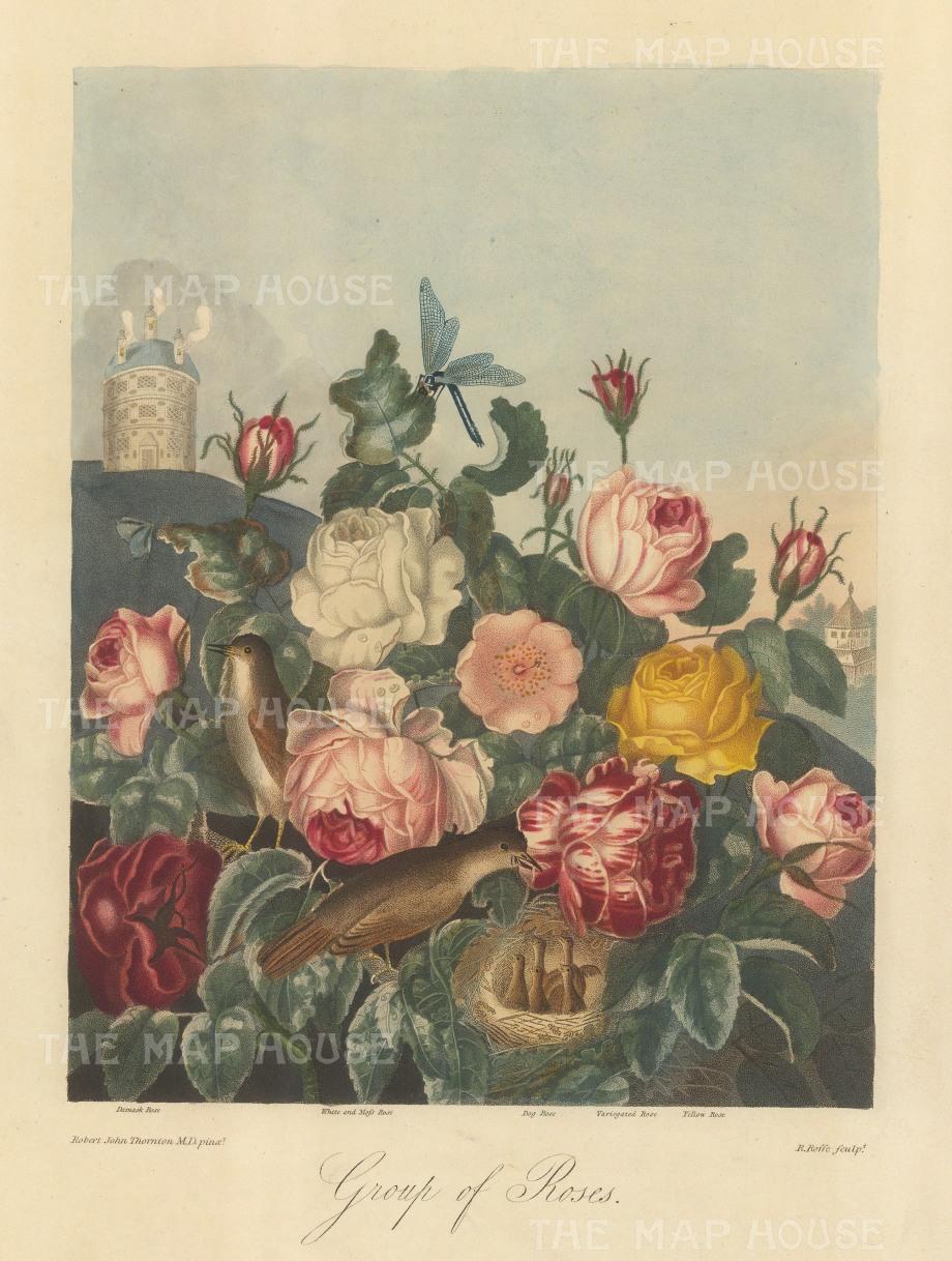 "Thornton: Roses. 1812. An original colour antique mixed-method engraving. 12"" x 15"". [FLORAp3139]"
