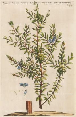"""Commelin: Sweet Pea. 1697. A hand coloured original antique copper engraving. 10"""" x 15"""". [FLORAp3152w"""