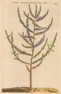 "Commelin: African Broom. 1697. A hand coloured original antique copper engraving. 10"" x 15"". [FLORAp3154]"