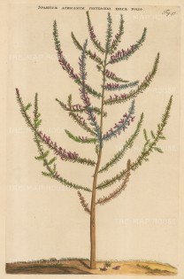 "Commelin: African Broom. 1697. A hand coloured original antique copper engraving. 10"" x 15"". [FLORAp3154]"