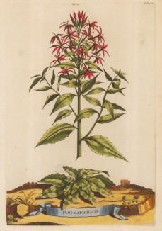 "Munting: Cardinal Flower. 1696. A hand coloured original antique copper engraving. 10"" x 15"". [FLORAp3155]"