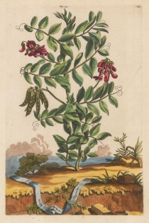 "Munting: Sea Pea. 1696. A hand coloured original antique copper engraving. 10"" x 15"". [FLORAp3156]"
