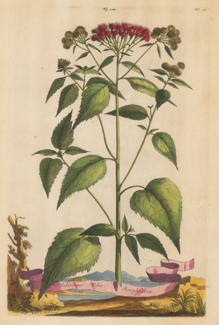 "Munting: Spur Valerian. 1696. A hand coloured original antique copper engraving. 10"" x 15"". [FLORAp3157]"