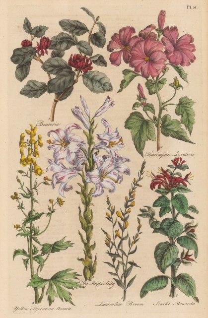 Beureria, Thuringian Lavatera, Pyrenean Aconite, Lily, Lanceolate Broom, Scarlet Monarda.