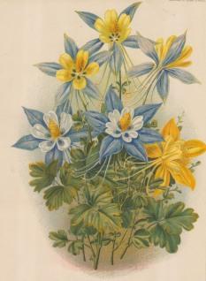 Garden Magazine: Clematis. 1885. An original antique chromolithograph.{FLORAp3163]