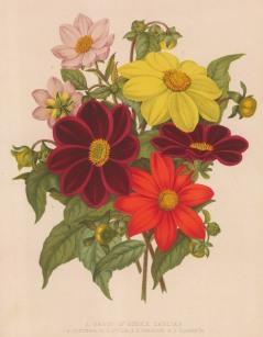Dahlias: Coccinea, Lutea, Paragon and Glabrata.