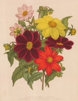 Dahlias: Coccinea, Lutea, Paragon and Glabrata.