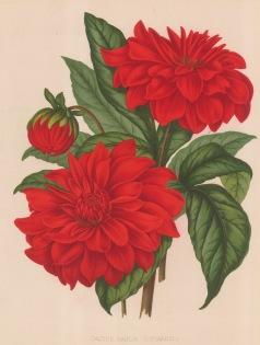 Dahlia: Cactus Dahlia Yuarezi.