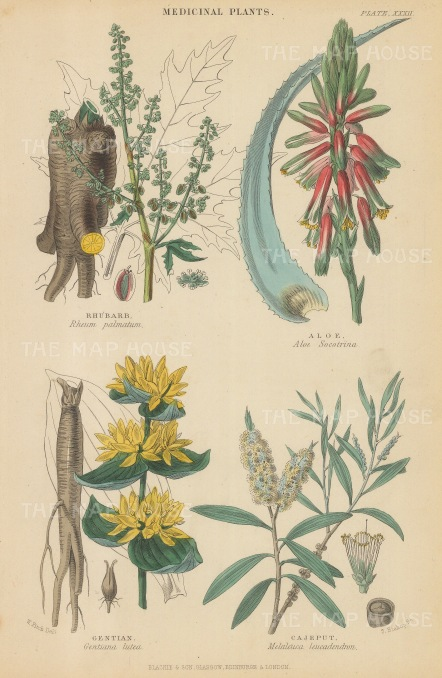 "Blackie: Medicinal Plants. 1850. An original hand coloured antique steel engraving. 5"" x 11"". [FLORAp3169]"