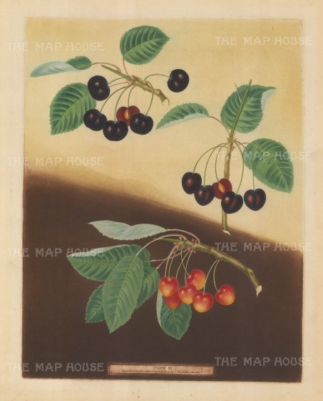 Cherries: Tradescant Cherry, Millet's Duke and Amber Heart.