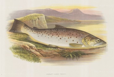 """Houghton: Great Lake Trout. 1879. An original antique chromolithograph. 12"""" x 9"""". [NATHISp5752]"""