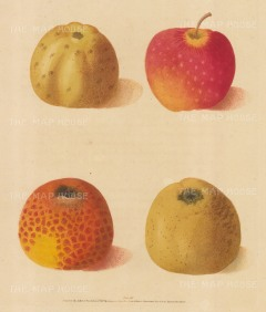 Apples: Four Varieties. Conpenden Rouge & Blanche, Embroidered Pippin, Lemon Pippen.