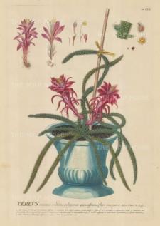 """Ehret: Cactus. 1752. An original hand coloured antique copper engraving. 12"""" x 18"""". [FLORAp3187]"""