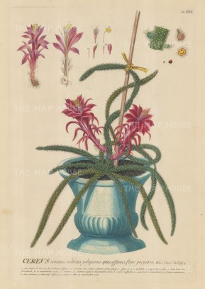 "Ehret: Cactus. 1752. An original hand coloured antique copper engraving. 12"" x 18"". [NATHISp6325]"