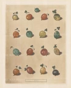 Seventeen varieties of Gooseberries.
