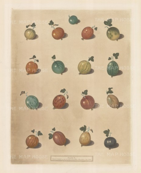 Seventeen varieties of Gooseberries.