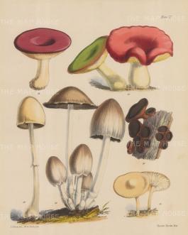 Fungi. Two types of Russula, Bulgaria Inquinans, Agaricus Separatus, Coprinus Atramentarius and Hygrophorus Virgineus.