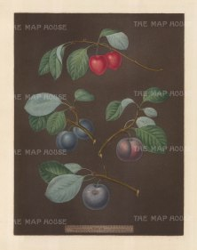 Plums: Cherry Plum, Laurence Plum, French Orlean and Common Orlean.