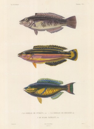 Parrot Fish (Le Scare Elegant): With Sea Chubs (Le Girelle) named after Joseph Eydoux and Louis Souleyet, the naturalists on the voyage of La Bonite 1836-7.