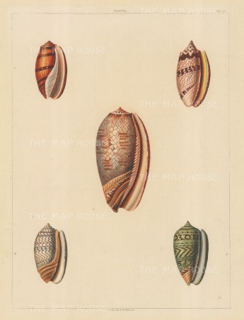 Univalves: Genus Oliva: Five shells in pink and pale green, with beautiful detailing.