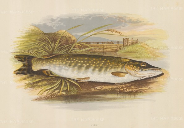 "Houghton: Pike. 1879. An original antique chromolithograph. 12"" x 9"". [NATHISp7110]"