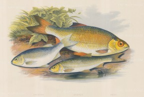 "Houghton: Azurine, Double and Rudd. 1879. An original antique chromolithograph. 12"" x 9"". [NATHISp7113]"