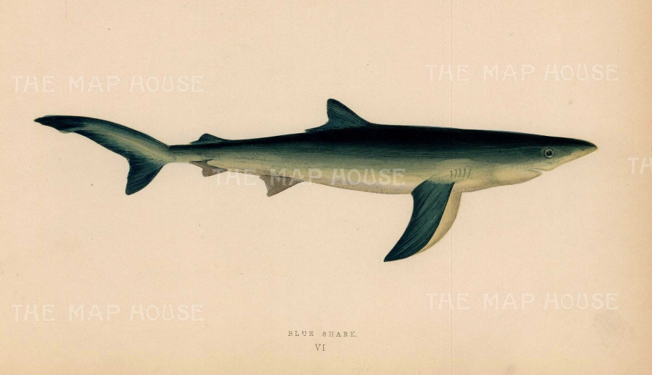 "Couch: Shark. 1878. An original antique chromolithograph. 9"" x 5"". [NATHISp7159]"