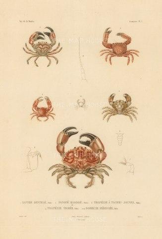 Crustaceans: Xanthe Dentele, Panope Marbre, Trapezie a tache jaunes, Trapezie Tigre, Domecie Herissee. From the voyage of La Bonite 1836-7.