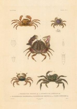 Crustaceans: Tricodactyle Ponctue, Dynomene de Latreille, Macrophthalme, Podophthalme, Macrophthalme Tomenteux, Calappe Sandwichien. From the voyage of La Bonite 1836-7.