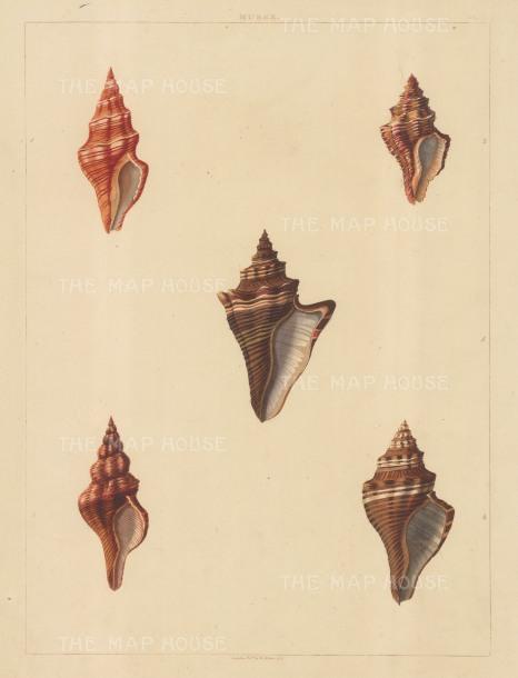 Univalves: Genus Murex: Murex Aurantia, Lignarius, Trapezium, Bandatus, Bandarius.