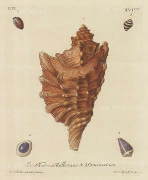 Ex Museo Mulleriano: Five mollusk shells from the collection of Philipp Ludwig Muller, professor of Natural History, after drawings by Johann Keller, professor of Drawing at Erlangen.