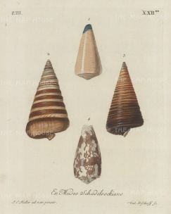 Ex Museo Schadeloockiano: Four mollusc shells from the collection of August Martin Shadelock, parson of St Lorenz Nurmberg, after drawings by Johann Keller, Professor of drawing at Erlangen.