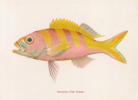 "Steiner: Hawaiian Fish. c1910. An original antique chromolithograph. 6"" x 5"". [NATHISp7298]"