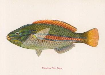 "Steiner: Hawaiian Fish,. c1910. An original antique chromolithograph. 6"" x 5"". [NATHISp7299]"