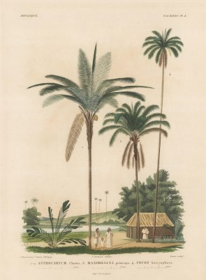 Palms (Attalea): Astrocaryum Chonta, Maximiliana princeps and Cocos botroyophora with Bolivians and thatched house.