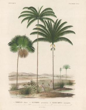 SOLD. Palms (Attalea): Thrinax chuco, Euterpe preccatoria and Oenocarpus tarampabo with Paraguayans in straw hats.