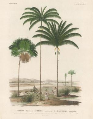 Palms (Attalea): Thrinax chuco, Euterpe preccatoria and Oenocarpus tarampabo with Paraguayans in straw hats.