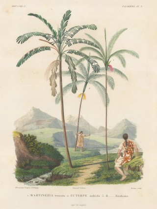 Palms (Attalea):Martinezia truncata, Euterpe andicola and Euterpe Haenkeana with Guaranins hunting with bow and arrow.