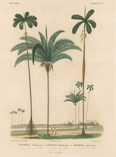 SOLD Palms (Attalea):Iriartea Orbigniana, Attalea blepharos and Iriartea phacocarpa with Paraguayans chatting beneath the trees.