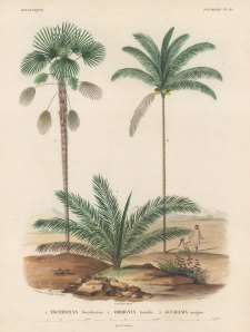 SOLD Palms (Attalea):Trithruinax brasiliensuis, Orbigignia humilis and Guliemia insignis with Brasilians chatting beneath the trees