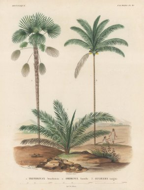 Palms (Attalea):Trithruinax brasiliensuis, Orbigignia humilis and Guliemia insignis with Brasilians chatting beneath the trees